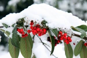 berries-15717_1280